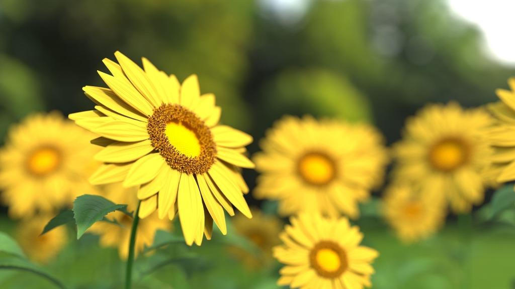 sunflower-1421011_1280