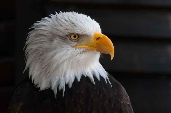 usa bald eagle portrait close